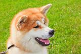 Akita Inu Japanese Dog