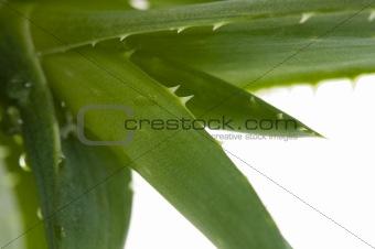 Aloe vera - herbal medicine
