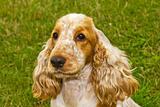 dog Spaniel breed