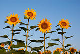 Four sunflowers against blue sky