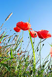 Blooming poppy at the wheat field against blue sky