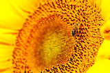 Sunflower head's close up with a bee