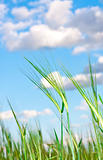 Lovely image of young barley against an idyllic blue sky