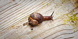A snail sliding across a wooden surface