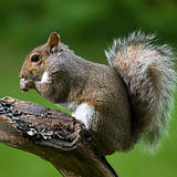 Starving squirrel
