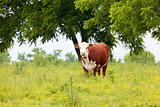Cow at Pasture