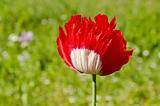 Red white poppy.