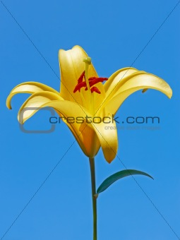 Big yellow lily flower