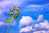 Burdock inflorescences against sky