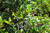 Picconia azorica shrub