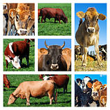 Collage of cattle on the field