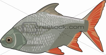 red fin barb