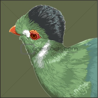 white cheecked turaco