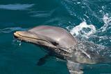 A wild bottlenose dolphin (Turisops Truncatus)