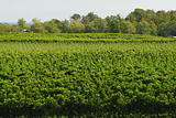 Grapevine field