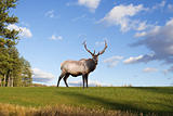 Bull Elk on a Grassy Hillside
