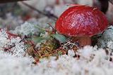 Cepe mushroom.