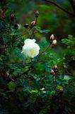 White dogrose.