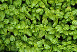 sweet basil background