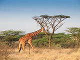 Giraffe walking across savannah