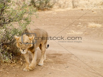 Lioness walking in masai mara