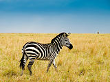 Burchells zebra