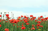 red poppy field background