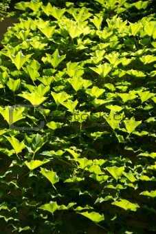 all green leaves
