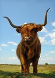 Proud ox against blue sky