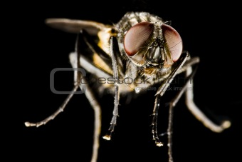 horse fly with black background