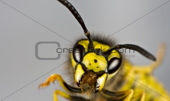 head of wasp in grey background