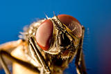 Horse fly with black background and huge compound eyes