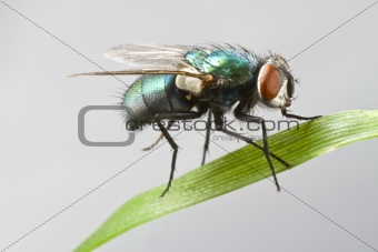 house fly in extreme close up sitting on leaf