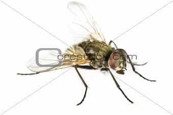 horse fly in close up