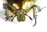 head of iridescent bug