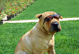Adorable Shar Pei in sunglasses