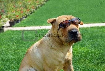 Adorable Shar Pei in sunglasses