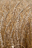 Closeup of dry wheat