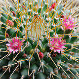 Pink flowers of blossoming cactus.