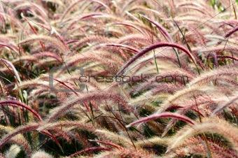 Bristle grass Herb