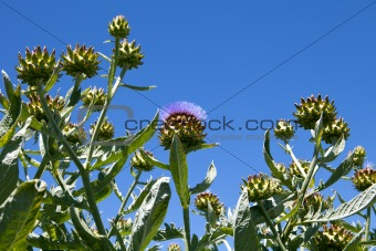 Artichoke Crop On Organic Farm
