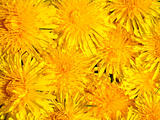 Dandelion flowers