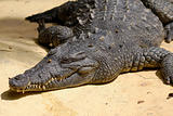 Crocodile is resting in the sun