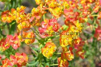 Cypress spurge (Euphorbia cyparissias)