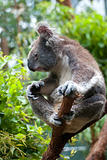 Australian Koala