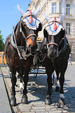 Elegant horses harnessed in stroller
