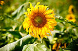 sunflower on wild field closeup