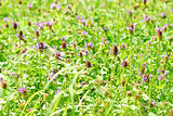 meadow with blooming clover and a butterfly