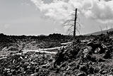 burned dead pines in black clinker flow on Etna