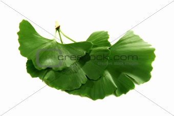 Green leaves of Ginkgo biloba on a white background.